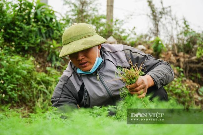 Nông dân Chí Linh hồ hởi đội mưa thu hoạch nông sản hậu cách ly xã hội - Ảnh 12.