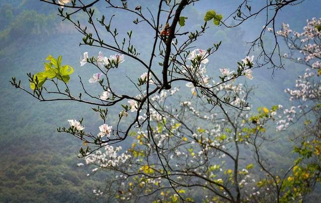 Lên Điện Biên ngắm Hoa Ban nở trắng núi rừng - Ảnh 4.