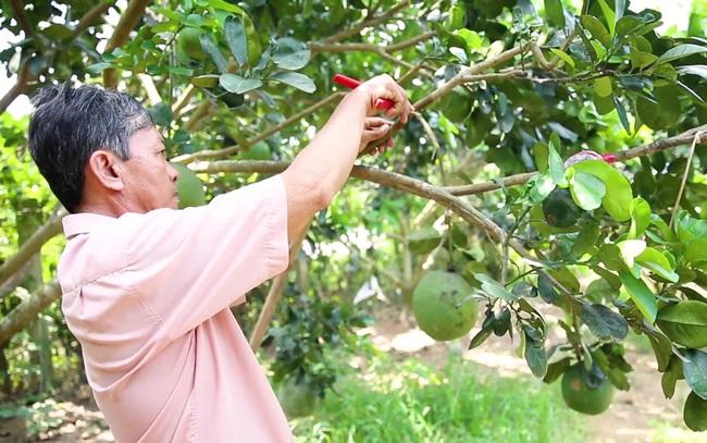 Thành viên HTX Bưởi da xanh Bến Tre đang chăm sóc vườn cây