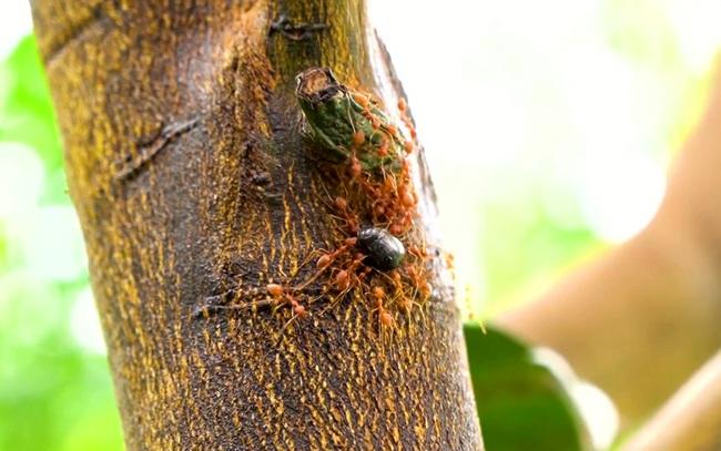 Nuôi kiến vàng để trị sâu cuốn lá, sâu xanh trong vườn bưởi