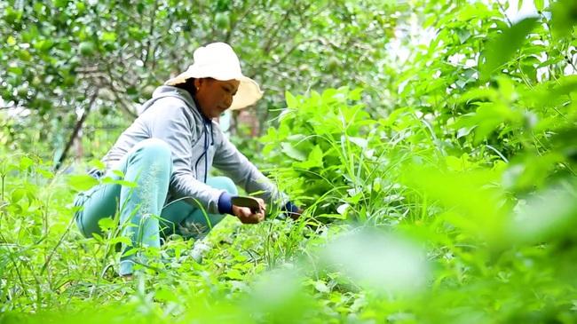 Việc quản lý cỏ dại cũng không dùng thuốc diệt cỏ. Xã viên cắt tỉa độ dày, độ cao cho phù hợp để giữ lại lớp thảm thực vật cho đất trồng.