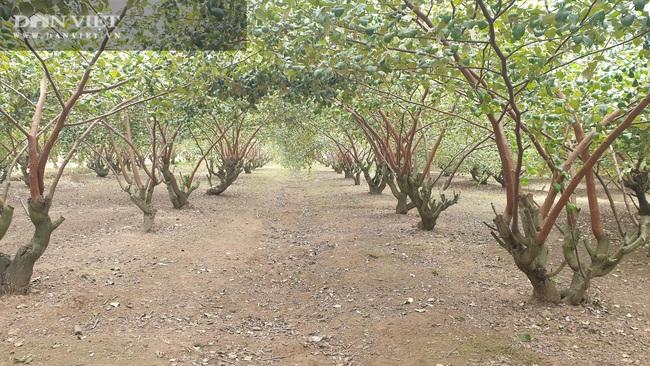 Thái Bình: Rủ nhau trồng táo làm giàu, cả xóm ở đây ăn nên làm ra - Ảnh 4.