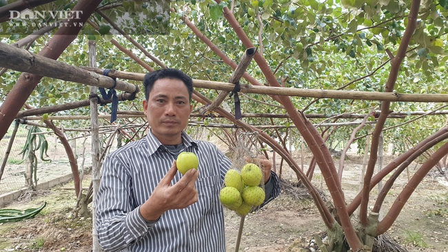 Thái Bình: Rủ nhau trồng táo làm giàu, cả xóm ở đây ăn nên làm ra - Ảnh 2.