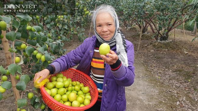 Thái Bình: Rủ nhau trồng táo làm giàu, cả xóm ở đây ăn nên làm ra - Ảnh 5.