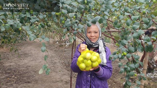 Thái Bình: Rủ nhau trồng táo làm giàu, cả xóm ở đây ăn nên làm ra - Ảnh 1.