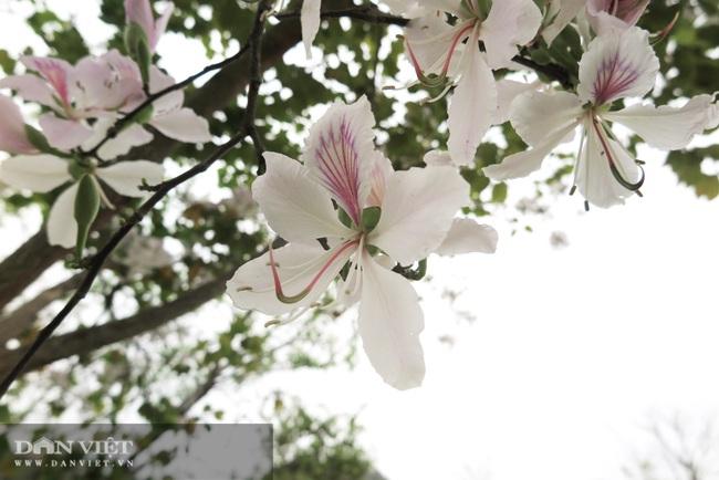 Ăn cả 1 mùa hoa ban trắng muốt - Ảnh 3.