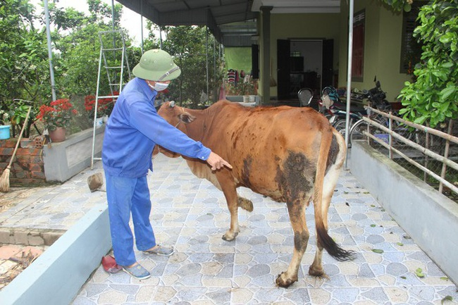 Nghệ An: Xuất hiện bệnh lạ da nổi cục trên đàn trâu bò, nông dân hoang mang   - Ảnh 1.