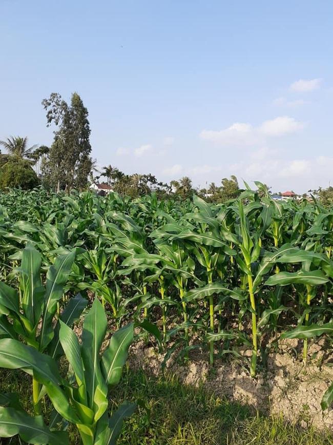 Tiên Lãng, Hải Phòng: Hiệu quả kinh tế từ trồng cây có hạt dẻo lại thơm - Ảnh 2.