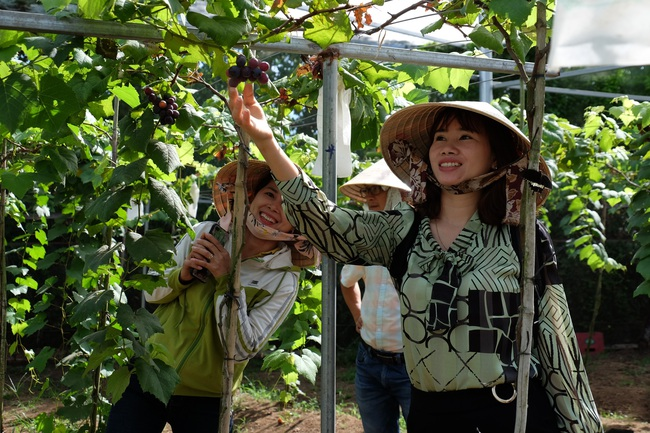 """Trồng 6 giống nho Nhật Bản, nữ chủ vườn """"hái bộn tiền"""" - Ảnh 8."""