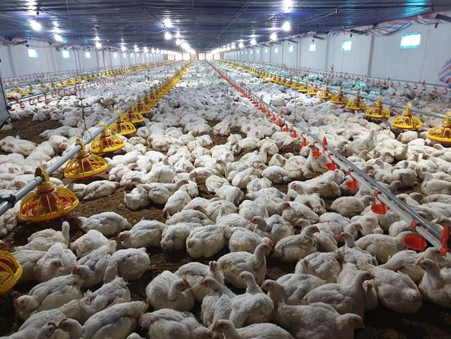 Giá gia cầm hôm nay 13/4: Gà công nghiệp, vịt thịt mất giá từng ngày - Ảnh 3.