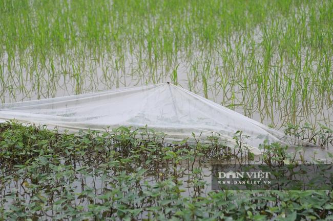 Hà Nam: Chi hàng trăm triệu đồng nhờ công ty đánh chuột nhưng chuột vẫn cắn lúa - Ảnh 4.