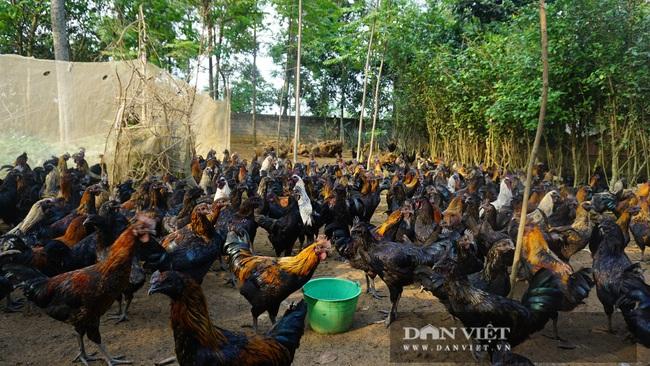 Hà Nội: Nuôi giống gà đặc sản thả rông trên đồi, chân không chì, thịt, xương đen sì, dân ở đây khấm khá  - Ảnh 3.