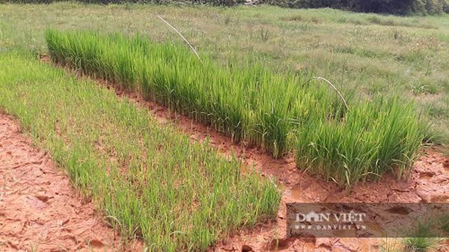 Hà Tĩnh: Nông dân bất lực nhìn ruộng bị vùi lấp sau mỗi trận mưa - Ảnh 4.
