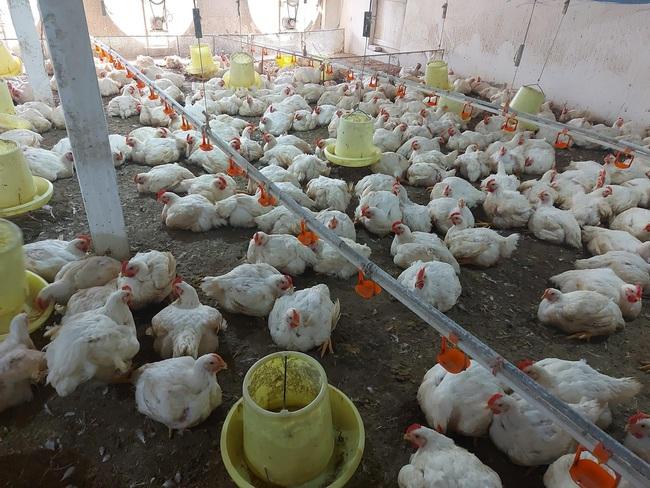 Giá gia cầm hôm nay 18/4: Vịt giữ giá cao 47.000 đồng/kg, gà trắng mất thêm 2 giá - Ảnh 5.