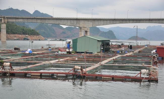 (Gop) Tỷ phú nuôi cá đặc sản dưới chân cầu Pá Uôn - Ảnh 3.