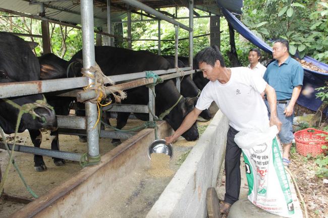 Nhà nông đất chè giàu lên nhờ... nuôi bò, hươu  - Ảnh 1.