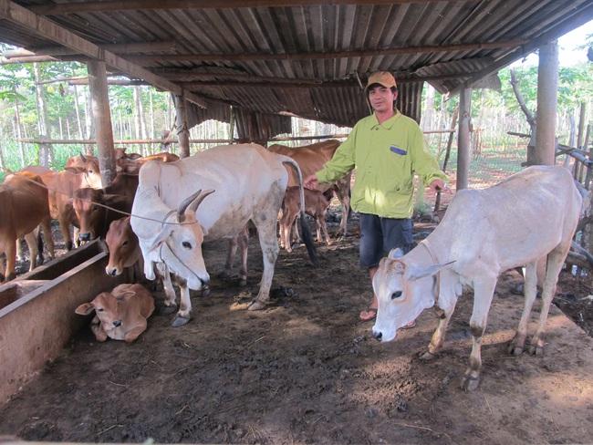 """(Gop) Lợn rừng, bò lai giúp """"đuổi nghèo"""" ở Long  Phước - Ảnh 1."""