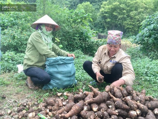 Ninh Bình: Trồng khoai môn Tam Đảo, lãi 8 triệu/sào - Ảnh 2.
