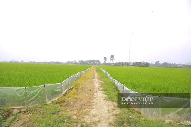 Đến vụ lúa người dân mang ni lông ra căng trắng đồng, cuối mùa thu hoạch không thiếu hạt nào - Ảnh 4.