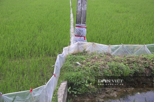 Đến vụ lúa người dân mang ni lông ra căng trắng đồng, cuối mùa thu hoạch không thiếu hạt nào - Ảnh 6.