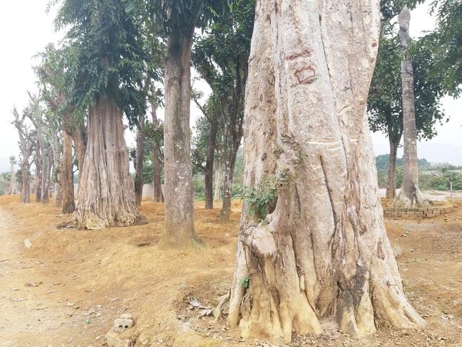"""Ảnh: Cận cảnh """"rừng"""" cây cổ thụ như so đũa giữa thủ đô Hà Nội - Ảnh 1."""