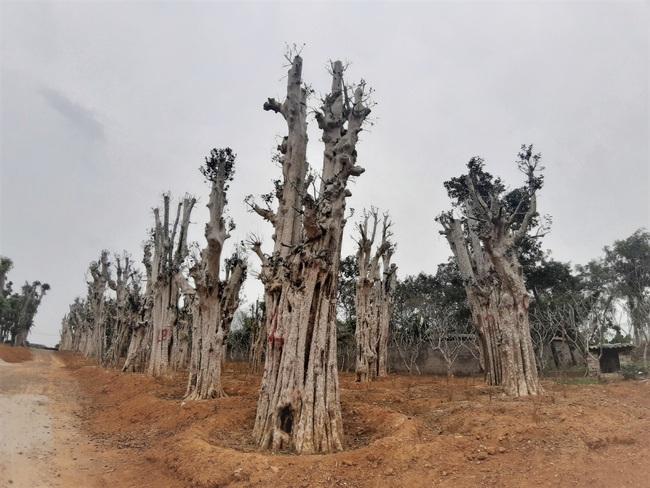 """Ảnh: Cận cảnh """"rừng"""" cây cổ thụ như so đũa giữa thủ đô Hà Nội - Ảnh 2."""