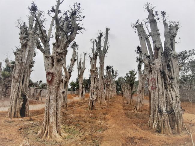 """Ảnh: Cận cảnh """"rừng"""" cây cổ thụ như so đũa giữa thủ đô Hà Nội - Ảnh 3."""