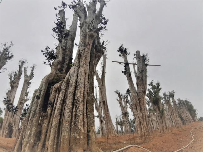 """Ảnh: Cận cảnh """"rừng"""" cây cổ thụ như so đũa giữa thủ đô Hà Nội - Ảnh 4."""
