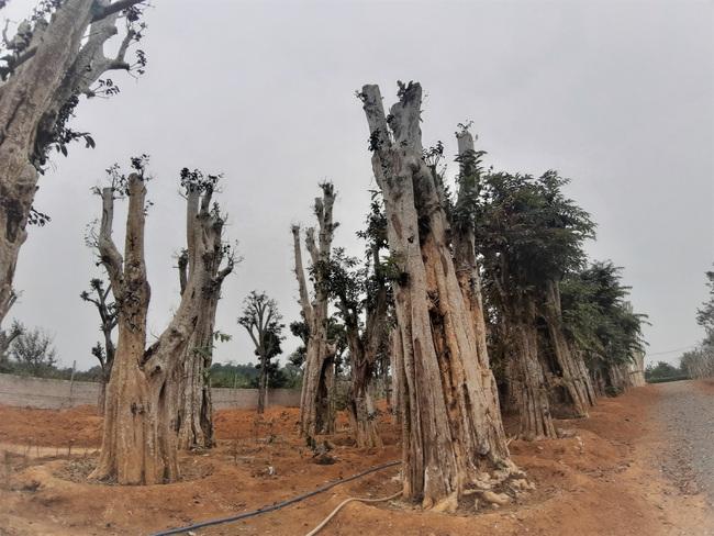 """Ảnh: Cận cảnh """"rừng"""" cây cổ thụ như so đũa giữa thủ đô Hà Nội - Ảnh 5."""