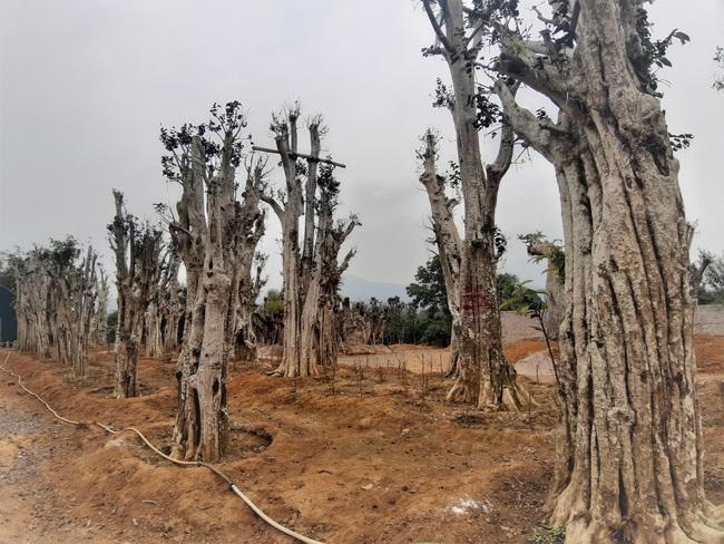"""Ảnh: Cận cảnh """"rừng"""" cây cổ thụ như so đũa giữa thủ đô Hà Nội - Ảnh 6."""