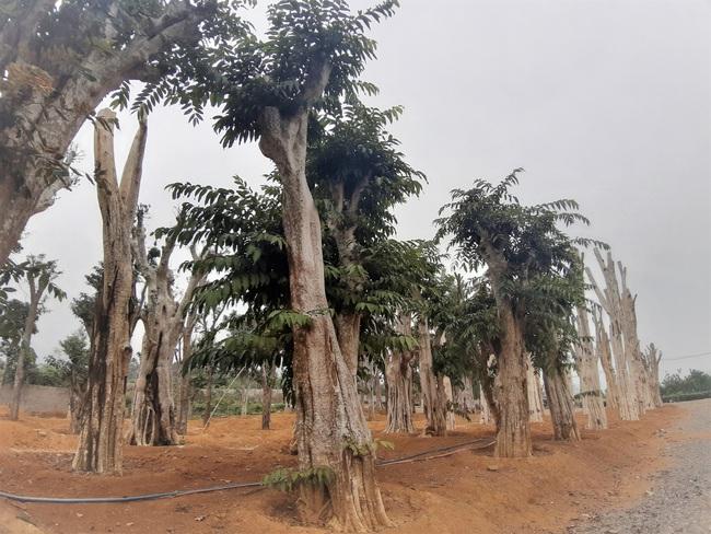 """Ảnh: Cận cảnh """"rừng"""" cây cổ thụ như so đũa giữa thủ đô Hà Nội - Ảnh 7."""
