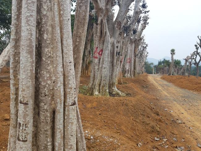 """Ảnh: Cận cảnh """"rừng"""" cây cổ thụ như so đũa giữa thủ đô Hà Nội - Ảnh 8."""