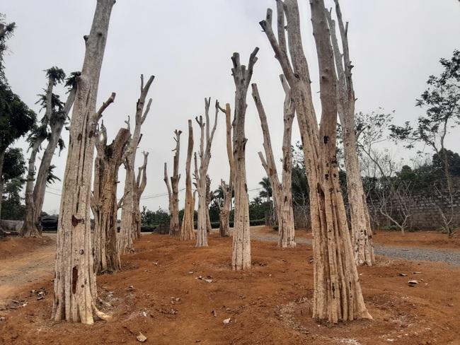 """Ảnh: Cận cảnh """"rừng"""" cây cổ thụ như so đũa giữa thủ đô Hà Nội - Ảnh 9."""