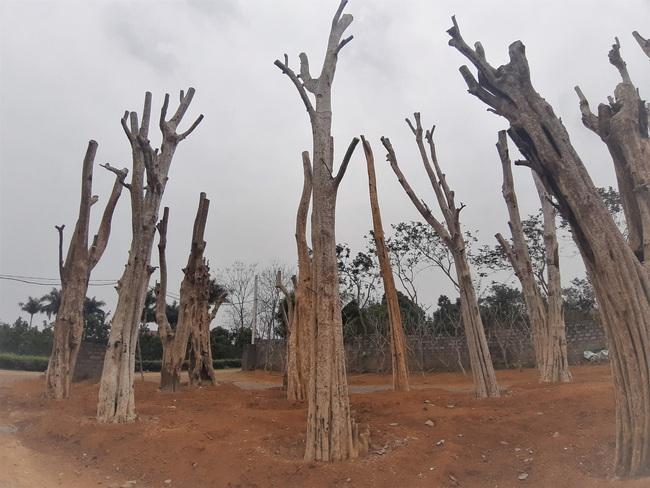 """Ảnh: Cận cảnh """"rừng"""" cây cổ thụ như so đũa giữa thủ đô Hà Nội - Ảnh 11."""