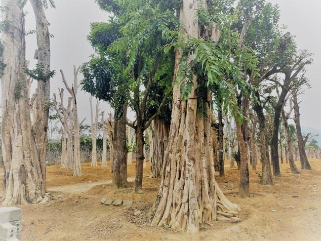 """Ảnh: Cận cảnh """"rừng"""" cây cổ thụ như so đũa giữa thủ đô Hà Nội - Ảnh 13."""