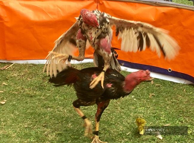 Năm Du lịch Quốc gia 2021-Hội thi chọi gà tại lễ hội Hoa Lư - Ảnh 2.