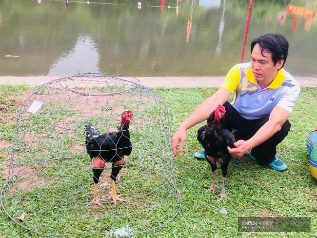 Năm Du lịch Quốc gia 2021-Hội thi chọi gà tại lễ hội Hoa Lư - Ảnh 3.