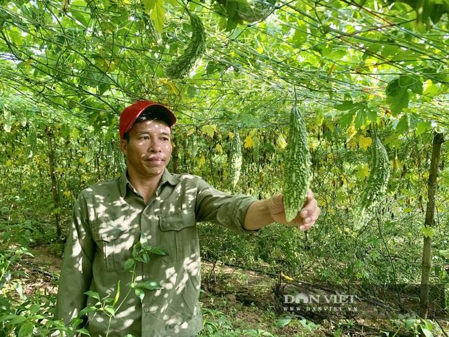 Quảng Bình: Anh nông dân treo túi long não bên giàn mướp đắng, cho quả to, đẹp, thu về hàng trăm triệu/năm - Ảnh 3.