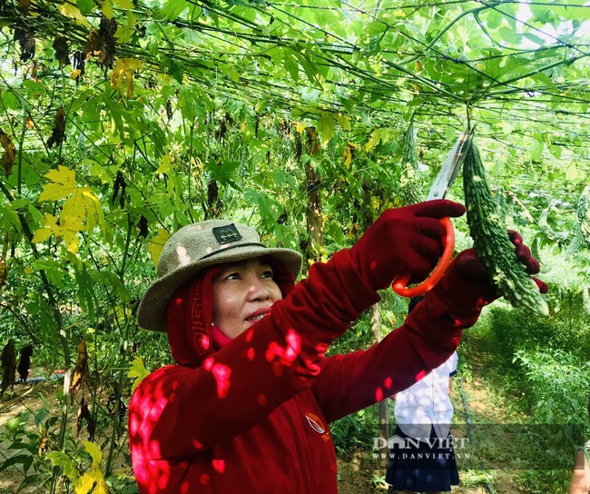 Quảng Bình: Anh nông dân treo túi long não bên giàn mướp đắng, cho quả to, đẹp, thu về hàng trăm triệu/năm - Ảnh 6.