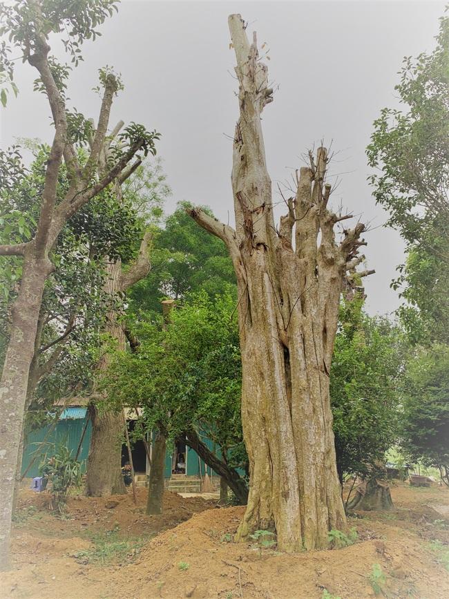 """Ảnh: Cận cảnh """"rừng"""" cây cổ thụ như so đũa giữa thủ đô Hà Nội - Ảnh 14."""