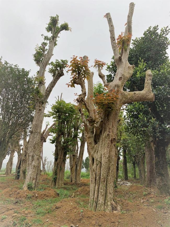 """Ảnh: Cận cảnh """"rừng"""" cây cổ thụ như so đũa giữa thủ đô Hà Nội - Ảnh 15."""
