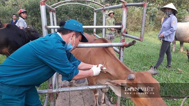 Hà Tĩnh: Hơn 115 nghìn con trâu, bò được tiêm phòng vắc-xin viêm da nổi cục - Ảnh 1.