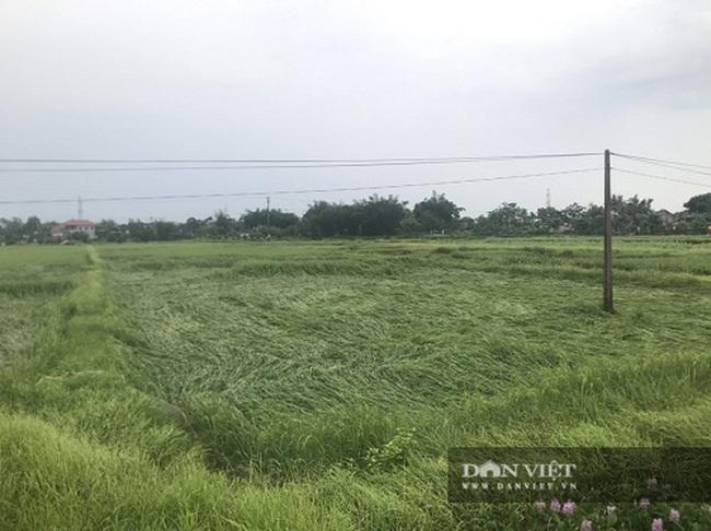 Hà Tĩnh: Sau trận mưa lớn, nhiều diện tích lúa bị ngã đổ - Ảnh 3.