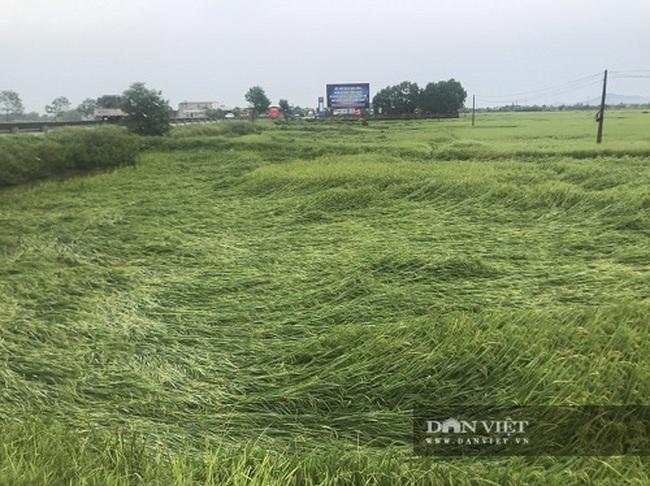 Hà Tĩnh: Sau trận mưa lớn, nhiều diện tích lúa bị ngã đổ - Ảnh 2.