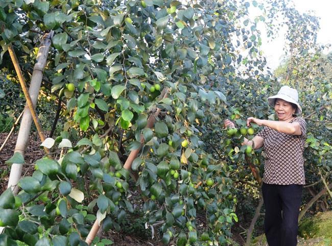"""""""Táo Động Tiên"""" giúp nông dân tăng thu nhập - Ảnh 1."""