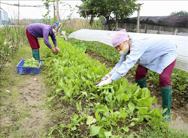 gop/ Sản xuất rau hữu cơ ở Hà Nội: Cần thêm hỗ trợ hạ tầng và liên kết sản xuất - Ảnh 1.