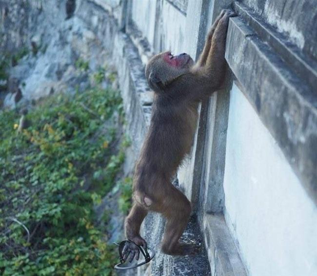 Xót xa hình ảnh khỉ mặt đỏ dính bẫy đứt lìa chân ở bán đảo Sơn Trà - Ảnh 5.