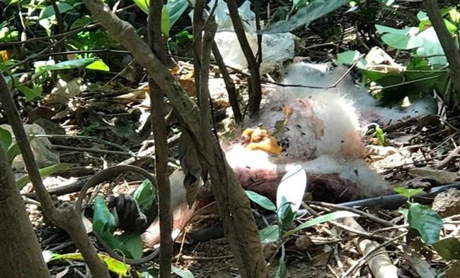 Xót xa hình ảnh khỉ mặt đỏ dính bẫy đứt lìa chân ở bán đảo Sơn Trà - Ảnh 6.