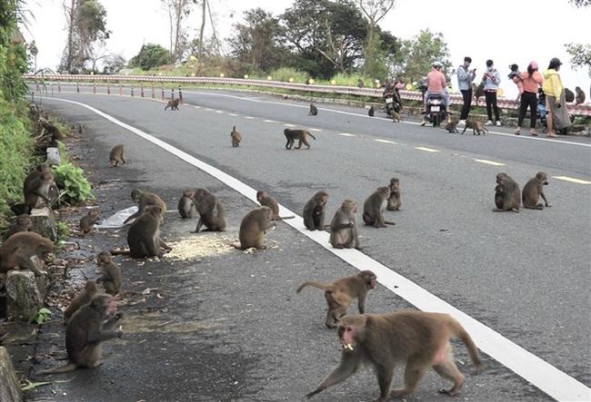 Xót xa hình ảnh khỉ mặt đỏ dính bẫy đứt lìa chân ở bán đảo Sơn Trà - Ảnh 4.