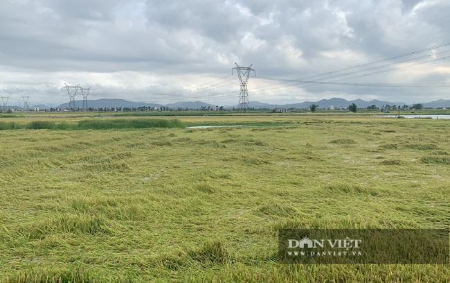 """Quảng Bình: Nông dân """"còng lưng"""" buộc lúa bổ, cứu vụ mùa - Ảnh 2."""